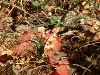 Poison Oak in Early Fall