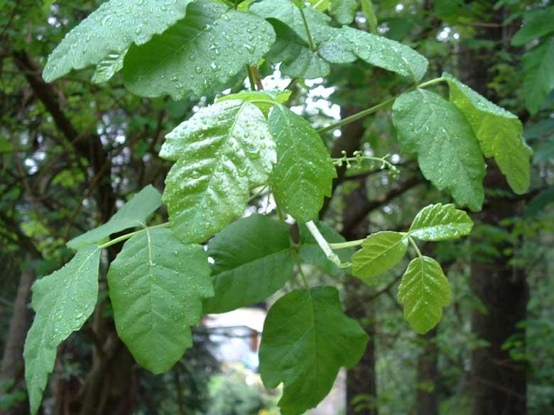 poison oak images