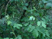 Poison Oak and Blackberry